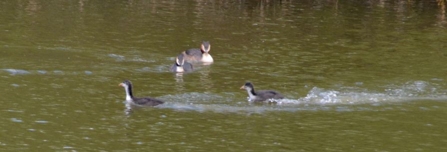 Grebes watching cootlets 'play'