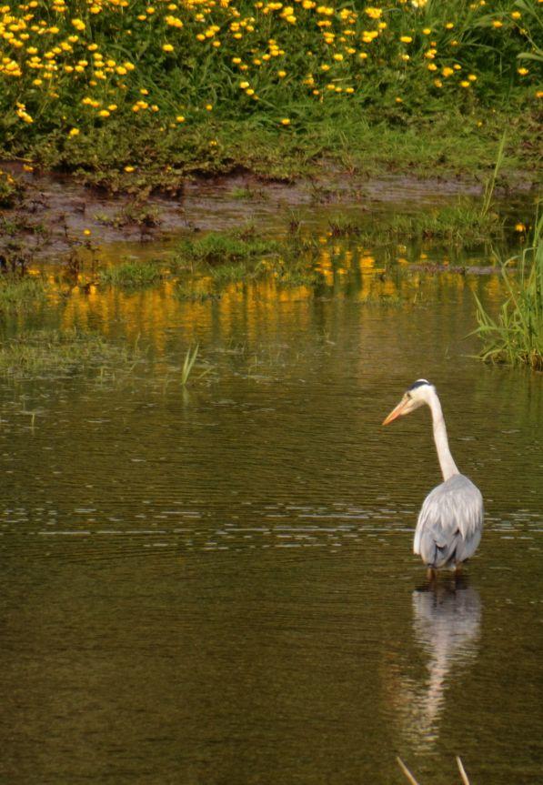 Stately heron