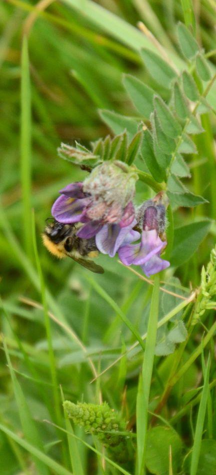 Bee - vetch