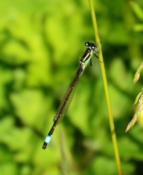 Blue tailed
