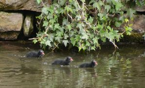 Moorhen chicks off to mum for food