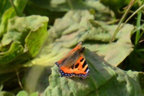 Small tortoiseshell - straight out of the pupa?