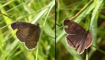 Ringlet back and front