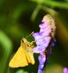 Skipper snacking on tufted vetch