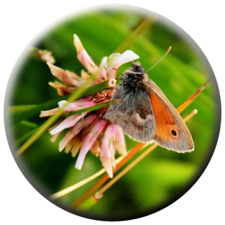 Meadow brown on clover