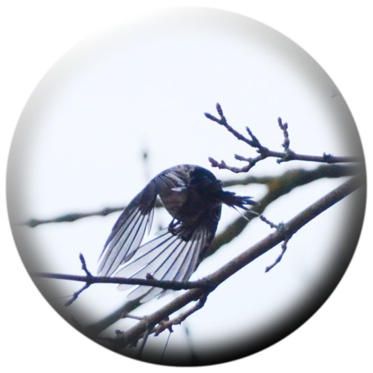 Long tailed tit departing in haste