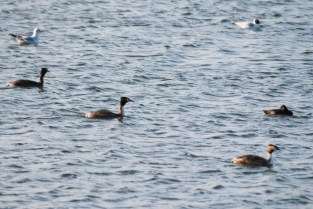 Three grebes