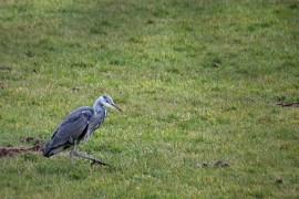 Heron on the field