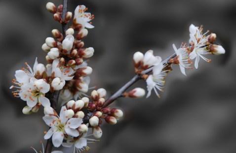 Blackthorn (sloe) blossom