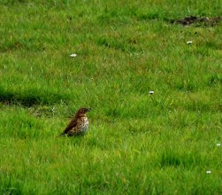 Thrush on the rugby field