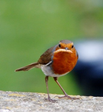 Robin with dinner