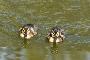 Ducklings - aaaaawwww!