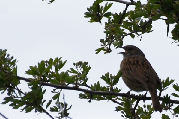 Dunnock at full volume