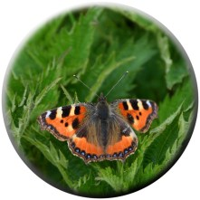 Small tortoiseshell on nettle