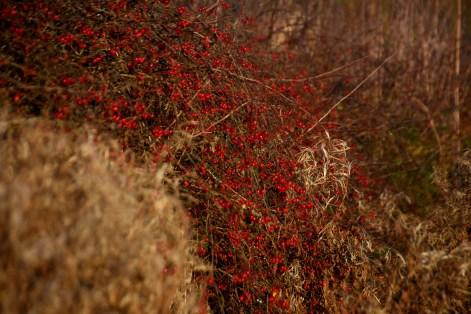 nightshade berry hedge