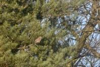 Conifer kestrel