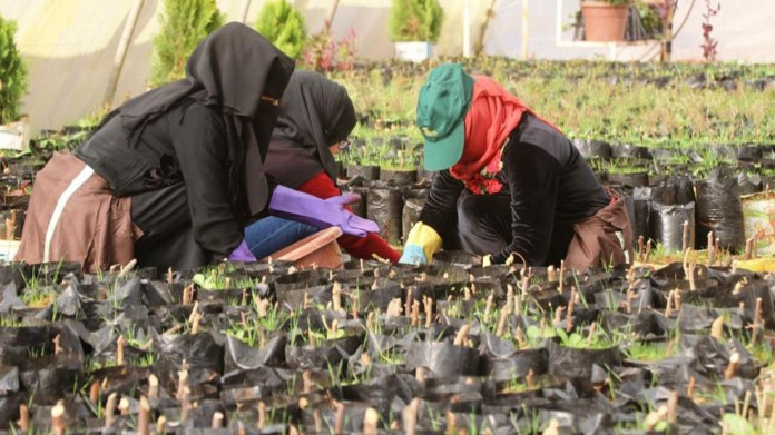 100 000 oliviers plantés à Raqqa