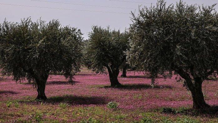 Les mercenaires djihadistes du groupe «Samarkand», affilié à la Turquie, ont saisi environ 3500 oliviers dans un village de Jandares, à Afrin.