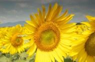 Sunflower 5