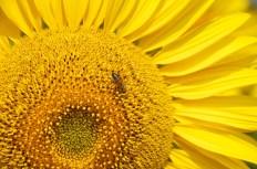Girasole con ape