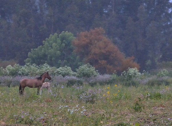Fog at Dawn added a sense of tranquilty as a mare and her colt grazed in a pasture.