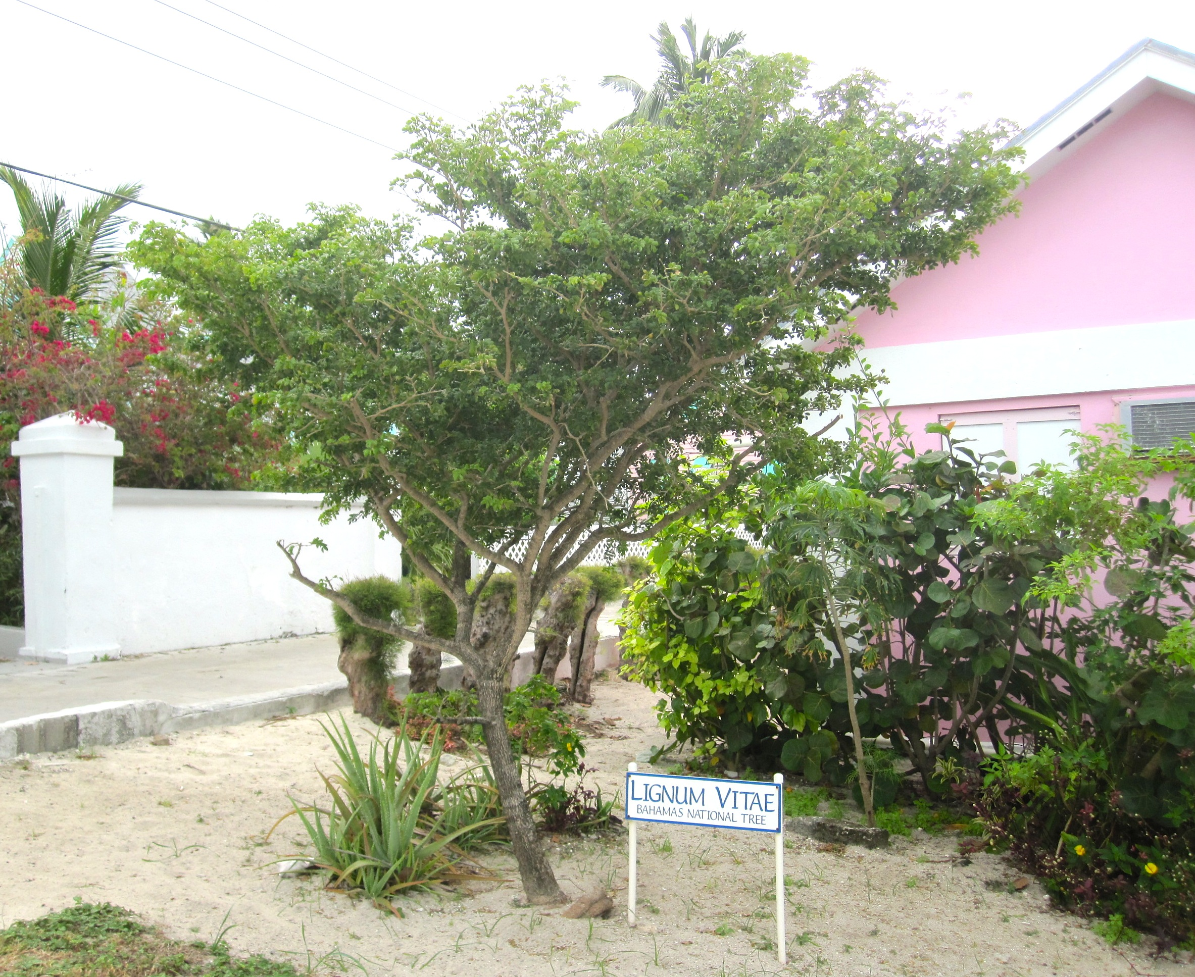 Lignum Vitae Bahamas National Tree