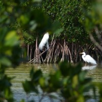 WHITE SOUND, ABACO: MANGROVES, MUD & (REALLY) GREAT EGRETS