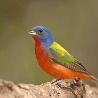 'RAINBOW BIRDS': GORGEOUS PAINTED BUNTINGS ON ABACO
