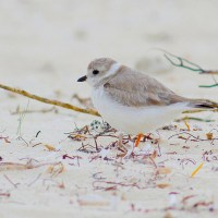 WORLD SHOREBIRDS DAY - ABACO'S 33 SHORE SPECIES (3): PLOVERS