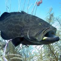 BAHAMAS REEF FISH (22): BLACK GROUPER