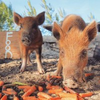 THE SWIMMING PIGS OF ABACO (THEY CAN'T FLY YET…)