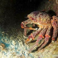 """CLINGING TO THE WRECKAGE"": BAHAMAS CLINGING CRABS"