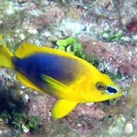 """OPHELIA READY FOR HAMLET"": BAHAMAS REEF FISH (27)"
