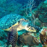 HAWKSBILL TURTLES: A RARE FIND & SWIMMING WITH ANGELS