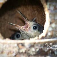 HUNGRY MOUTHS TO FEED: WEST INDIAN WOODPECKER CHICKS