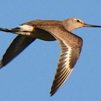 HUDSONIAN GODWITS ON ABACO: VANISHINGLY RARE