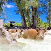 PIGGYVILLE: HOME OF THE SWIMMING PIGS OF ABACO