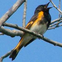AMERICAN REDSTARTS ON ABACO: MALES IN FOCUS