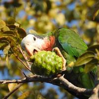 THE 'ABACO' PARROTS OF NASSAU: FEEDING TIME