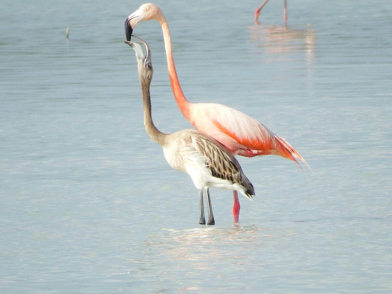 Flamingo Breeding Season