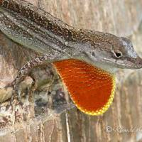 LIZARDS OF ABACO: ANOLES (AND DEWLAPS)