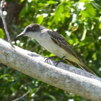 WATCHFUL TYRANT: A LOGGERHEAD KINGBIRD ON ABACO