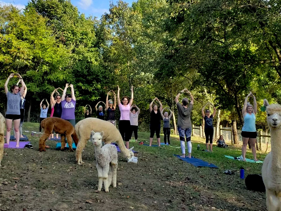 Yoga with the Alpacas