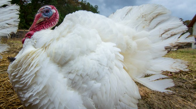 White broad breasted Turkey at Piedmont Farm Refuge Rolling with Grass