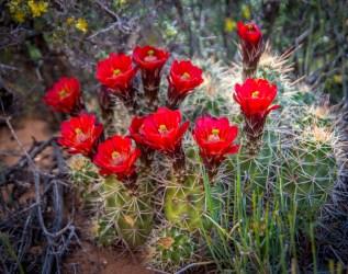 Arizona_Page_Blooming Cactus_3509
