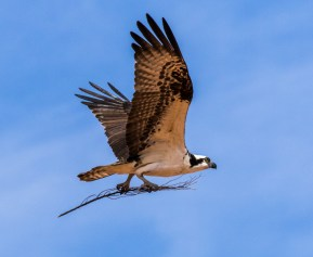 Arizona_Page_Osprey_7616