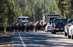 Yellowstone-Bison-0688