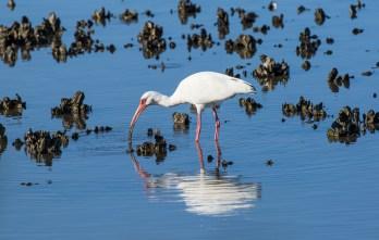 Cedar Key FL_Birds_1547
