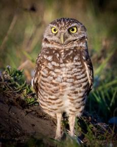 Florida_Marco Island_Burrowing Owls_3016
