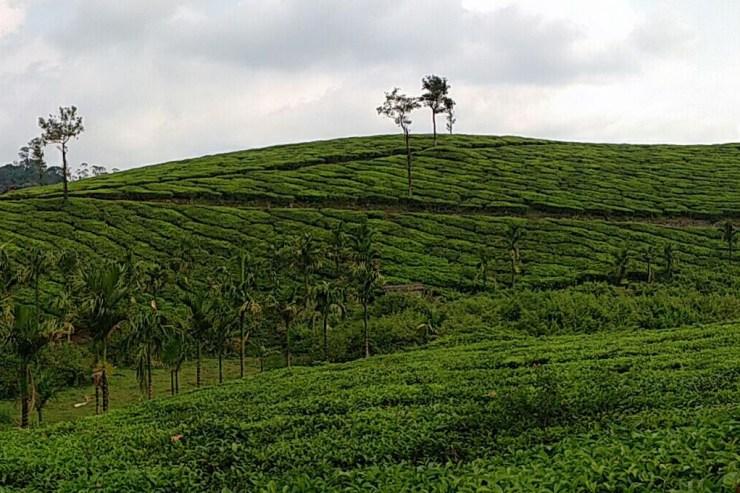 Exploring Western Ghats : Part 6 : Munnar- Kochi- Vagamon